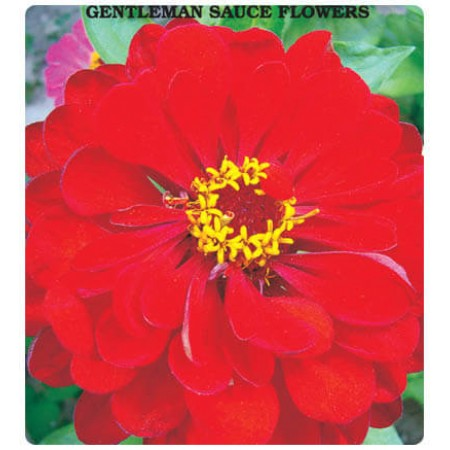 Bey Beni Beğendi Çiçeği (Karışık Renk) Tohumu
