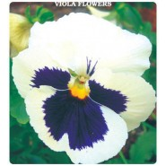 Beyaz Hercai Menekşe Çiçeği Tohumu