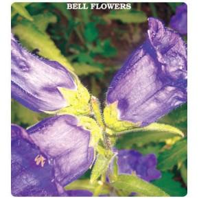 Çan (Kadeh) Çiçeği Tohumu
