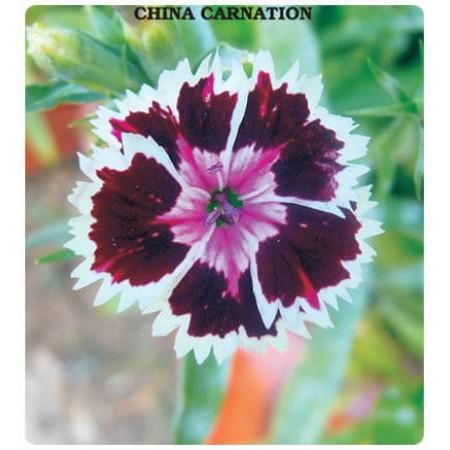 Çin Karanfili Çiçeği Tohumu