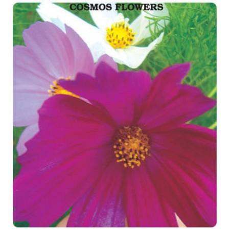Cosmos Çiçeği Tohumu