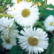 Dilber Kirpiği Çiçeği Tohumu