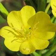 Ezan Çiçeği Tohumu