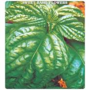 Yeşil İri Fesleğen Çiçeği Tohumu