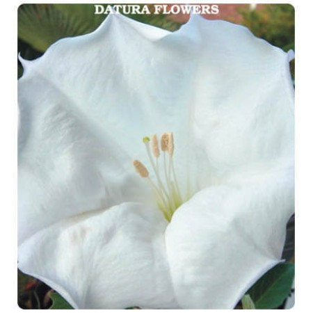 Gece Güzeli Çiçeği Tohumu