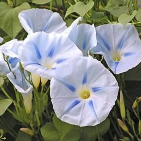 Gündüz Sefası Çiçeği Tohumu