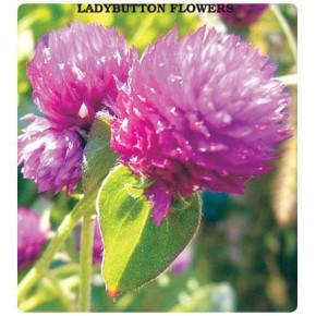 Hanım Düğmesi Çiçeği Tohumu