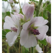 Hatmi Çiçeği Tohumu