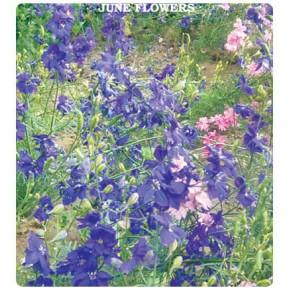 Hazeran Çiçeği Tohumu