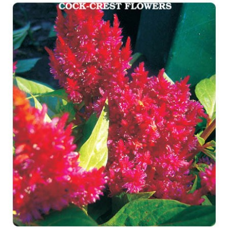 Horoz İbiği Çiçeği Tohumu
