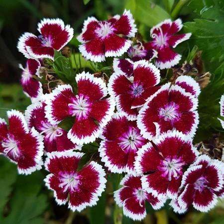 Hüsnü Yusuf Çiçeği Tohumu