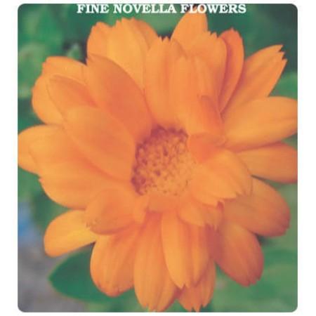 İnce Nigar Çiçeği Tohumu