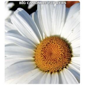 İri Papatya Çiçeği Tohumu