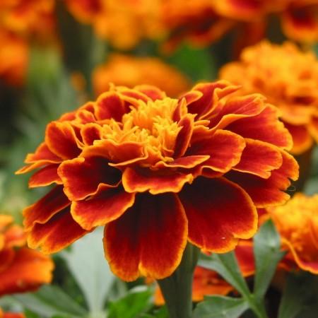 Kadife (Bodur) Çiçeği Tohumu
