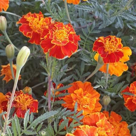 Karagöz Çiçeği Tohumu
