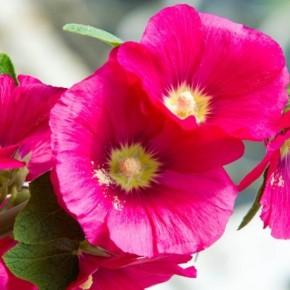 Hatim Çiçeği Tohumu