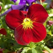 Kırmızı Hercai Menekşe Çiçeği Tohumu