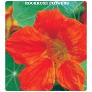 Laden Çiçeği Tohumu