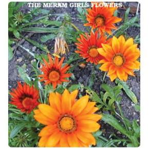 Meramlı Kız Çiçeği Tohumu