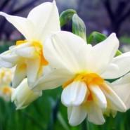 Nergiz Çiçeği Tohumu