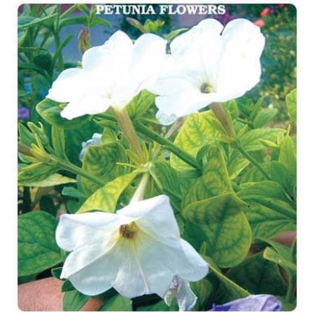 Petunya Çiçeği Tohumu