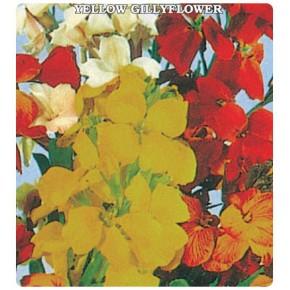 Sarı Şebboy Çiçeği Tohumu