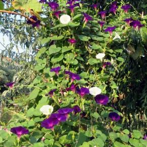 Sarmaşık (Karışık Renk) Çiçeği  Tohumu