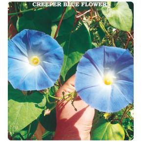Sarmaşık (İri Mavi Renk) Çiçeği Tohumu