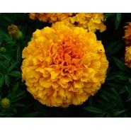 Top Kadife Çiçeği Tohumu