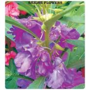 Türbe Çiçeği Tohumu