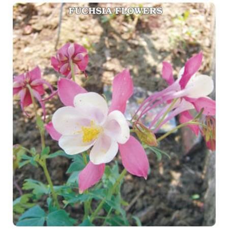 Yer Küpelisi Çiçeği Tohumu