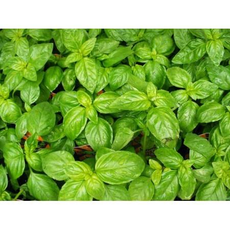 Yeşil Fesleğen Tohumu