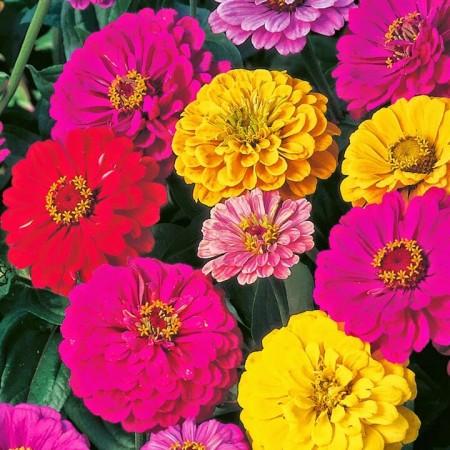 Zinnia (Kirli Hanım Çiçeği) Tohumu