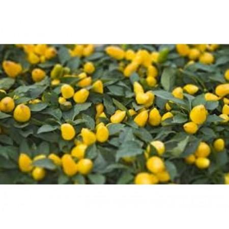 Doğal Biberiye Biberi Tohumu - 100 gr