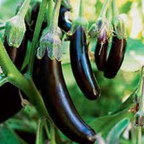 Doğal Patlıcan Tohumu - 25 Adet Tohum