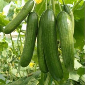 Doğal Salatalık Tohumu - 10 Gr