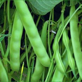 Doğal SarıKız (Oturak) Fasulye Tohumu - 10 gr