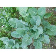 Doğal Yaprak Lahana Tohumu - 10 gr