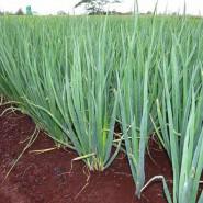 Doğal Yeşil Soğan Tohumu - 1 Kg
