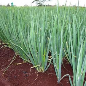 Doğal Yeşil Soğan Tohumu - 10 Gr