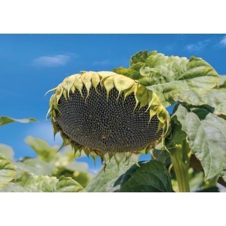 Hibrit Ayçiçeği Tohumu Yağlık - Zuhat  F1 - 10 Kg