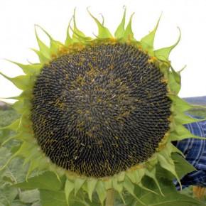 Yağlık Ayçiçeği Tohumu - Kalamis - 10 Kg