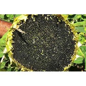 Ayçiçek Tohumu Yağlık - Tarsan 1018 - 10 Kg