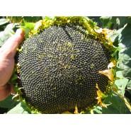 Yağlık Ayçiçek Tohumu - Teknosun-Cl - 10 Kg