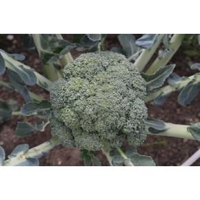 Hibrit Brokoli Tohumu - COVINA F1  - 2.500 Adet Tohum