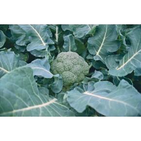 Hibrit Brokoli Tohumu F1 (Erkenci - Sofralık) - 2.500 Adet Tohum