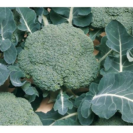 Hibrit Brokoli Tohumu F1 (Kışlık - Sofralık) Çeşit 1 - 2.500 Adet Tohum