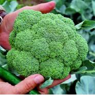 Hibrit Brokoli Tohumu - Kubu F1 - 1.000 Adet Tohum