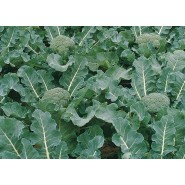 Hibrit Brokoli Tohumu F1 (Sofralık) - 2.500 Adet Tohum