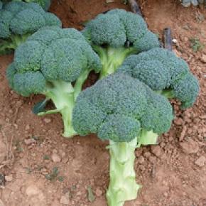 Hibrit Brokoli Tohumu - Steel F1 - 2.500 Adet Tohum